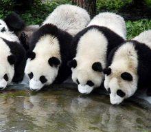 Panda Plans and Celebrating Conservation
