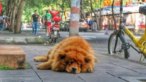 Dog Breed Ban Begins in Chengdu