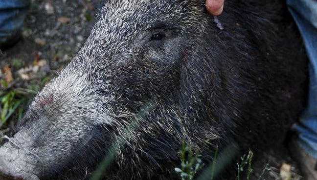 African Swine Fever Reported in Sichuan | Chengdu Expat